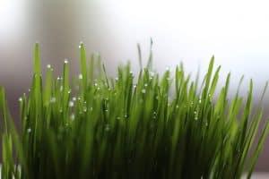 Barley Grass: Ingestion, Dosage & Use